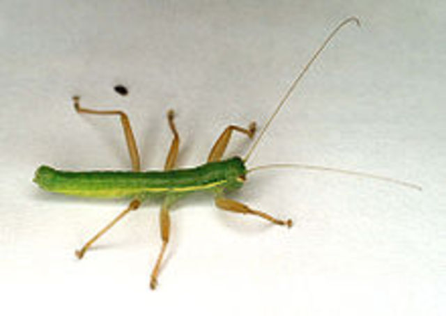 The discovery of a new insect order, Mantophasmatodea, is announced.