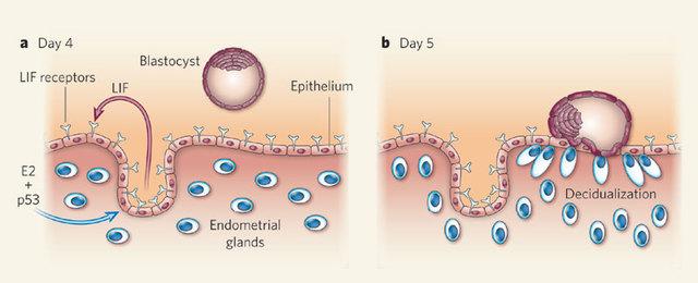 Blastocyst Implants in Uterine Wall
