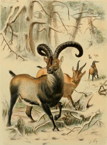 The Pyrenean Ibex goes extinct