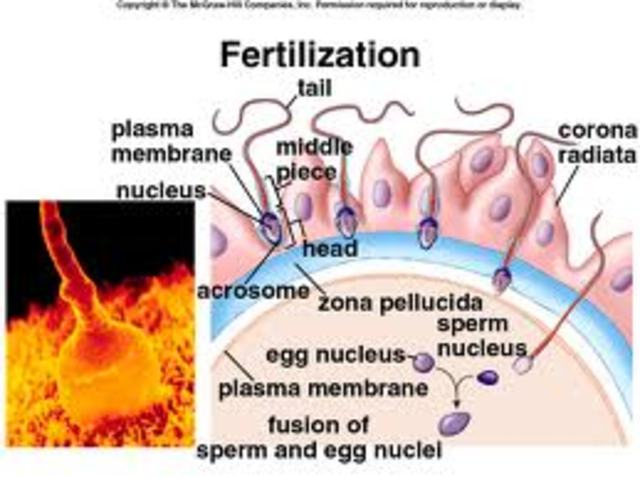 Fertilization and Zygote