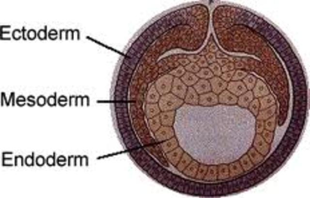 Ectoderm, Mesoderm, and Endoderm begin to develop.