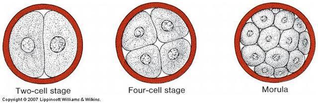 Formation of Morula