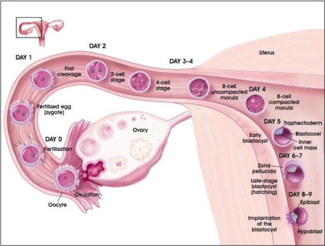 Formation of blastocyct
