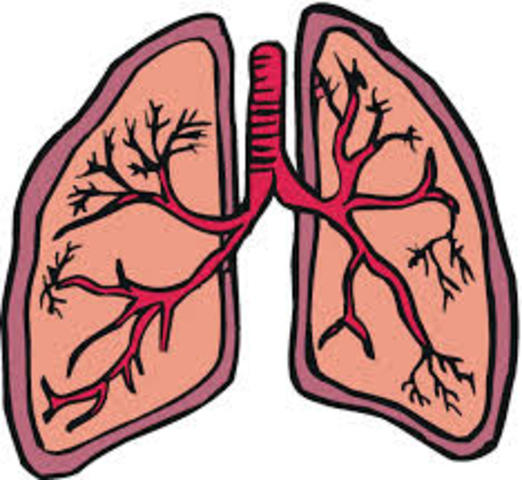 Lungs begin to develop.