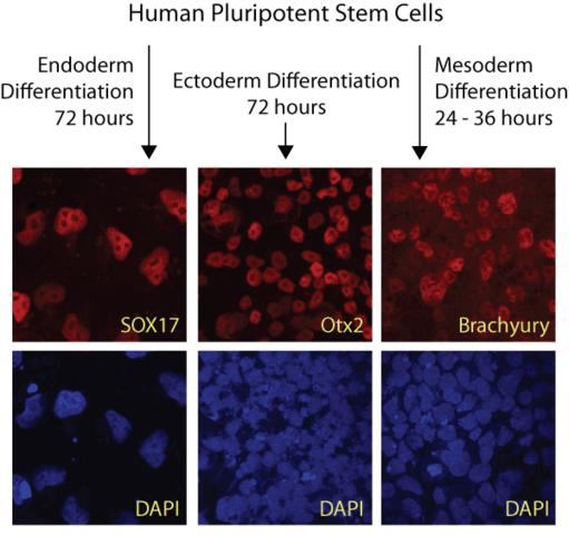 Ectoderm, Mesoderm, and Endoderm Development