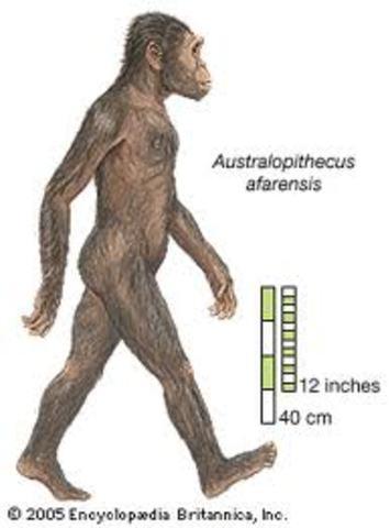 Astrolopithecus afarensis.