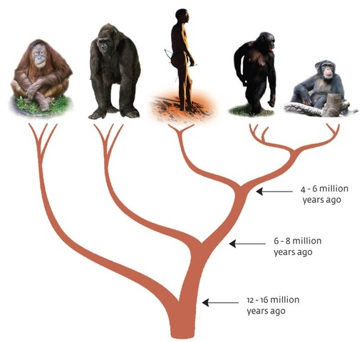 Human and Apes