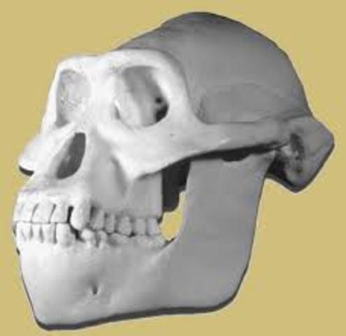 Autralopithecus anamensis (3,9 millones de años atrás)