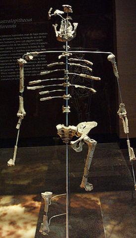Australipithecus afarensis (3,5 millones de años atrás)