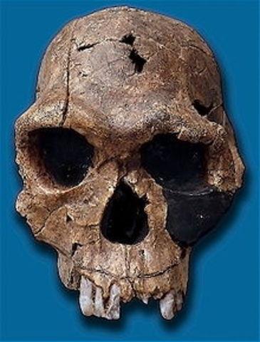 Homo habilis (2,4 millones de años atrás)