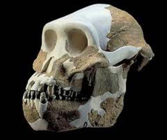 Australopithecus anamensis 1.1