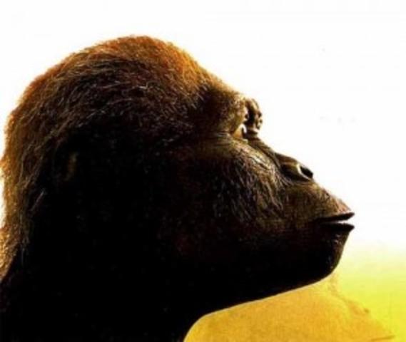 Australopithecus africanus 1.1