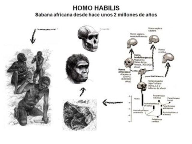 Homo Habilis 1.1