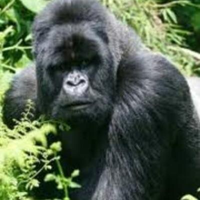 S.O.S Gorillas Antonio Rodriguez Larreta timeline