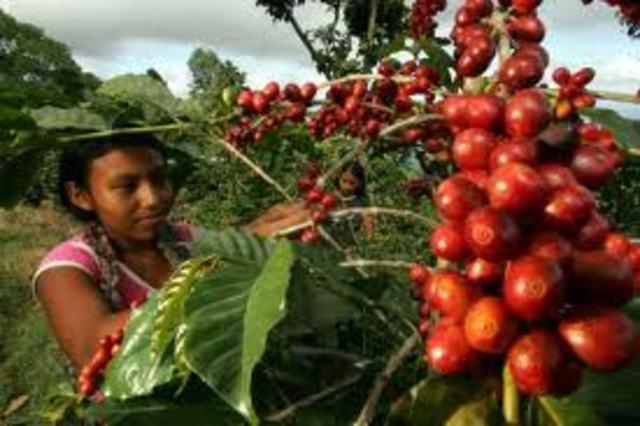 CAFE EN GUATEMALA