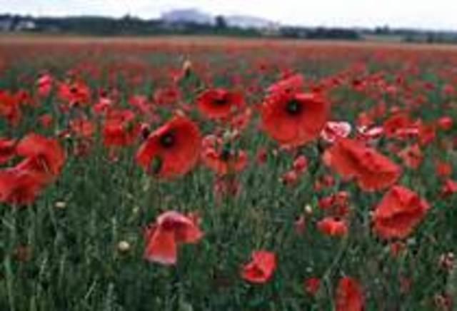Poem: In Flanders Field