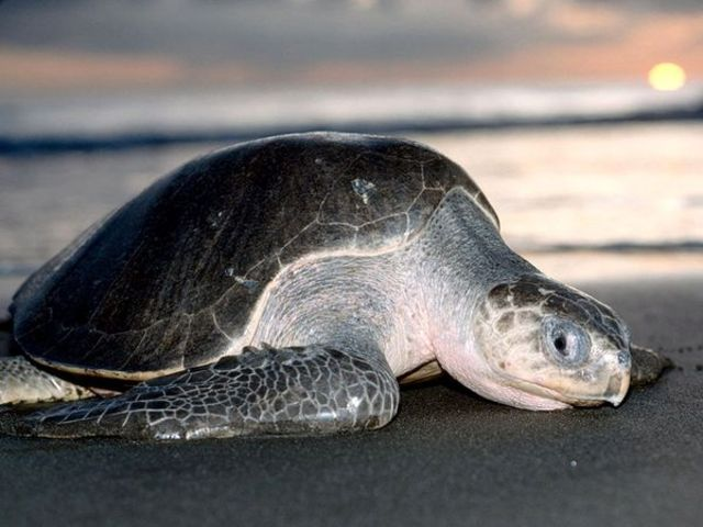 Morocco, Olive Ridley Sea Turtle