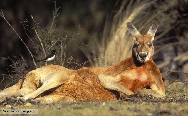 Australia, Red Kangaroo