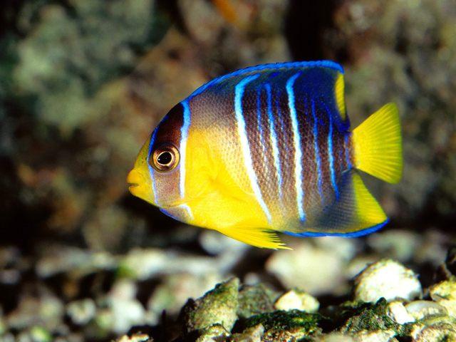 Bora Bora; Angel Fish