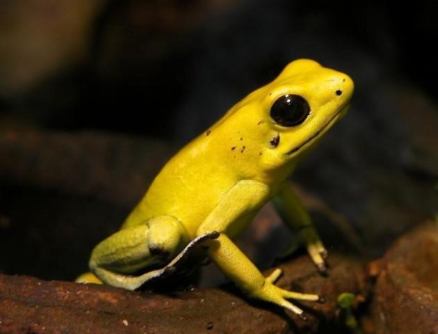 Brazil: Brazillian Golden Frog
