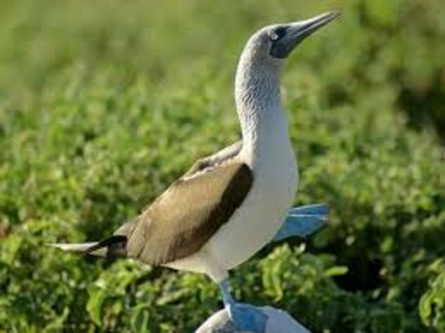 Galapagos, Blue-Fotted Booby