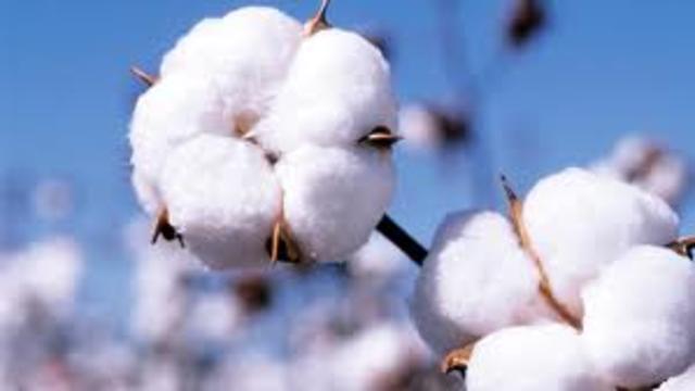 Cotton in america