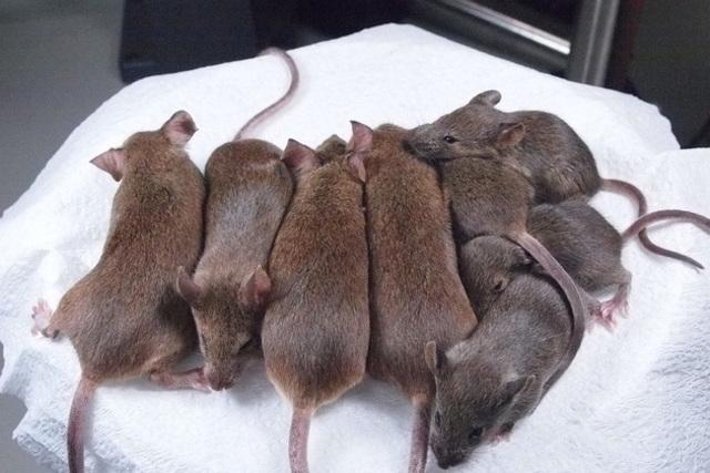 generacion de ratones