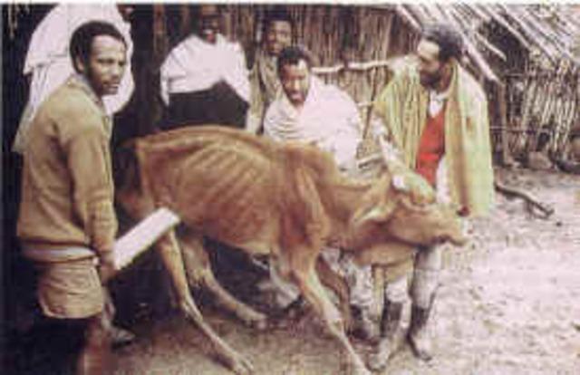 peste bovina