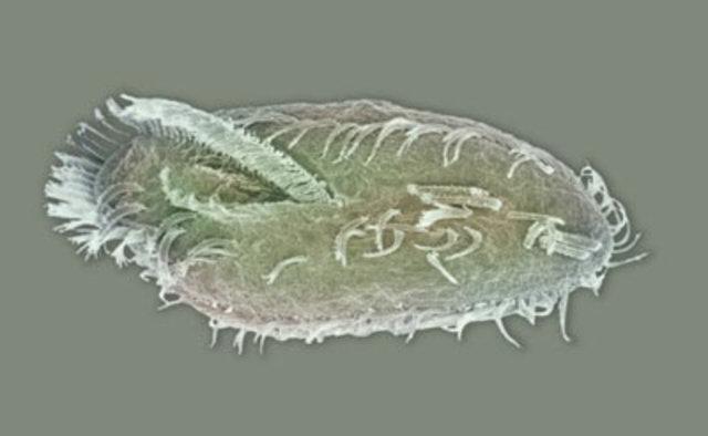 Cell Findings Leeuwenhoek