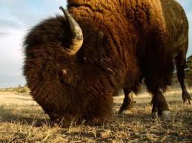 no more bison??????