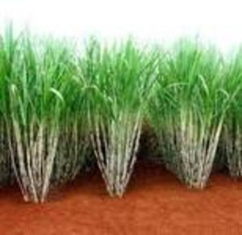 Producto agrícola que se cultiva en Naranjito