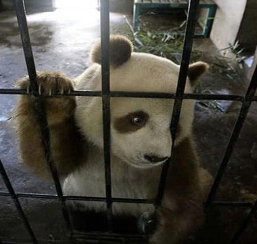 Panda marrom