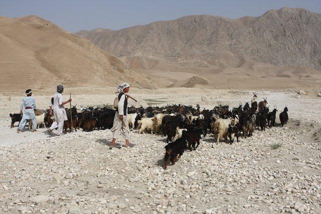 Muhammad begins work as a shepherd, following in the footsteps of his prophetic predecessors.
