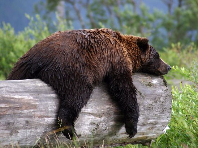 Grizzly.