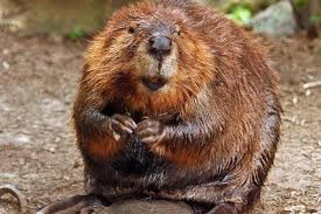 Dead Beavers