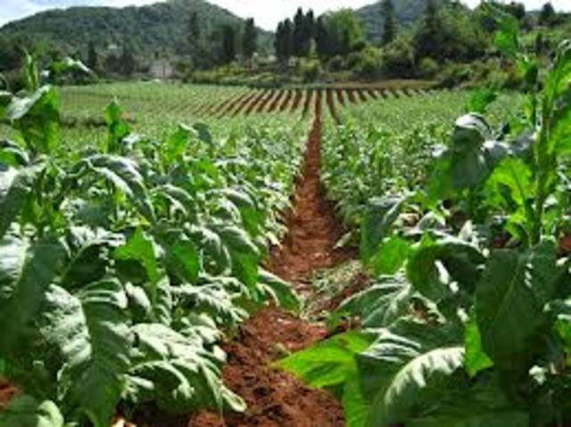 Tobacco Cultivation in the South Begins