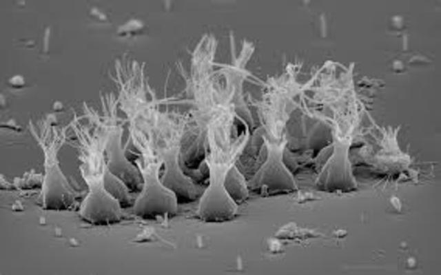 Choanoflagellates Evolve