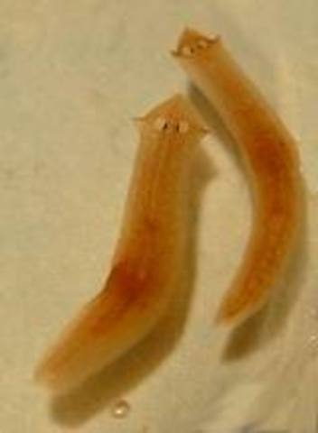 Flat Worms Evolve