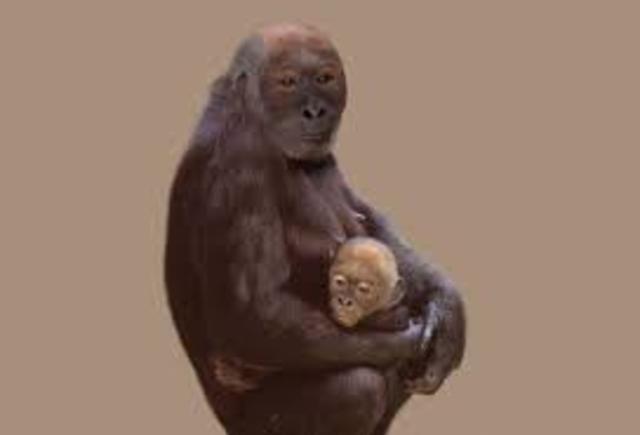 Pierolapithecus Evolves