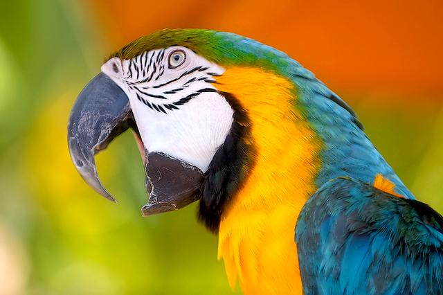 Get A Parrot