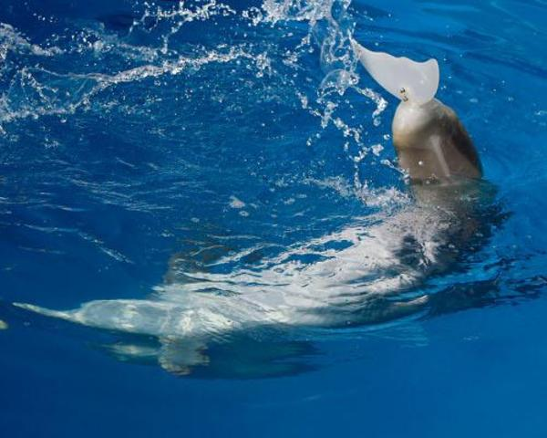 Prosthetic Dolphin Tail