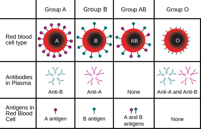 Discovery of the three human blood groups