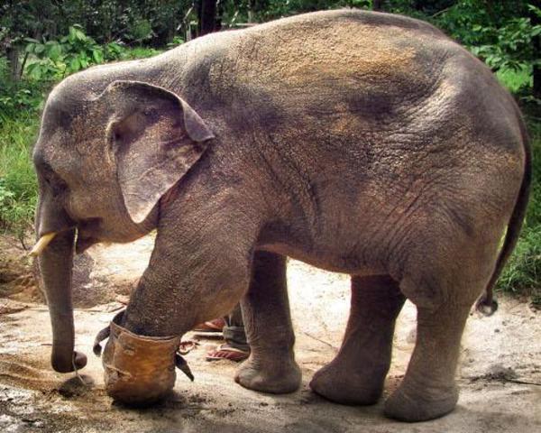 Chhouk the Elephant