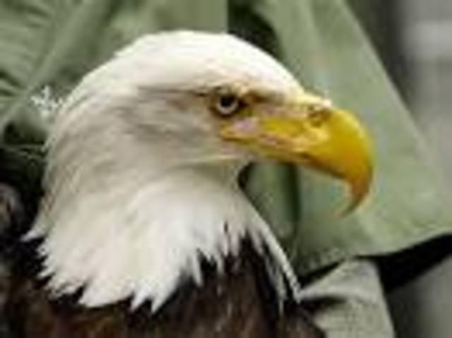 Bald Eagle Gets Bionic Beak