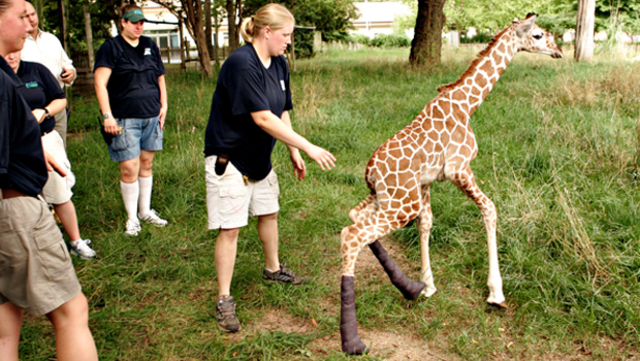 Hope the giraffe