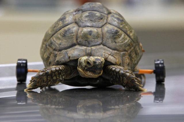 Tzvika the Turtle