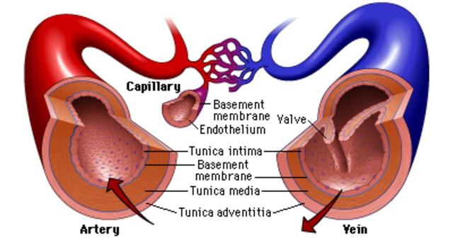 Arteries & Veins 500 BCE