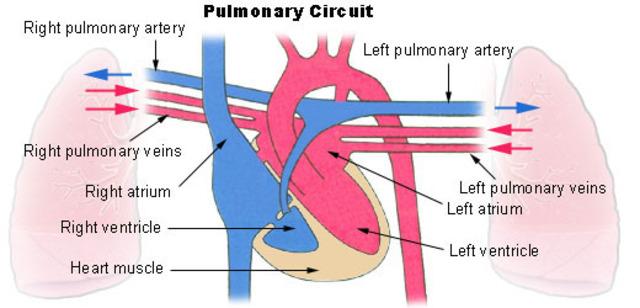 Mid CE. Pulmonary circulation