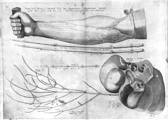 First drawings of vein valves