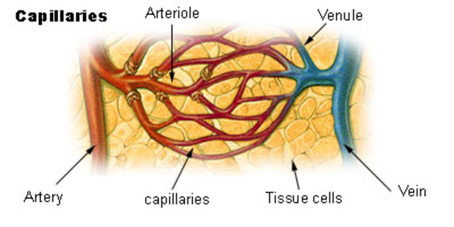 Capillary system first observed